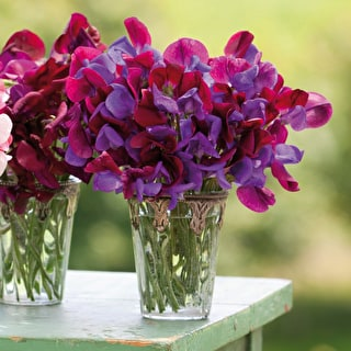sweet pea planting instructions
