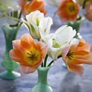 Apricot Beauty Tulip Collection