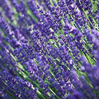 Line a Path Lavender Mix