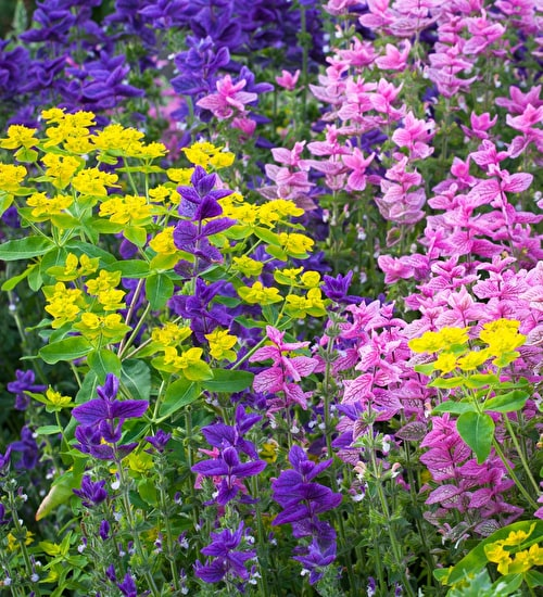 Salvia viridis Blue & Pink with Euphorbia oblongata