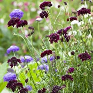 Scabiosa atropurpurea 'Tall Double Mix'