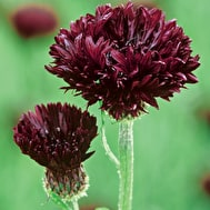 Centaurea cyanus 'Black Ball'
