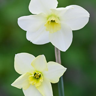 Narcissus 'Green Eyes'