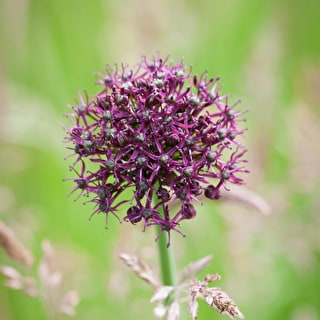 Allium for Grass Collection