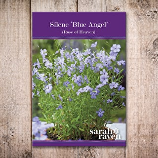 Silene 'Blue Angel'