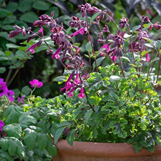 Crimson Perennial Pot Collection