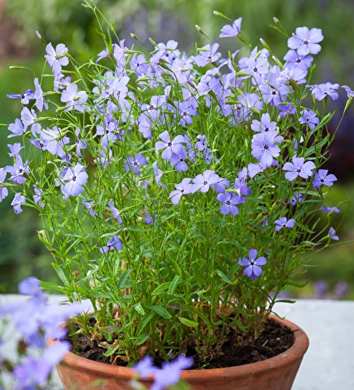 Silene oculata 'Blue Angel'
