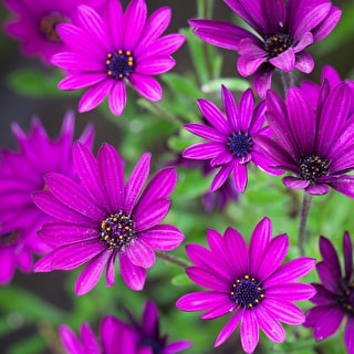 Osteospermum 'Tresco Purple'