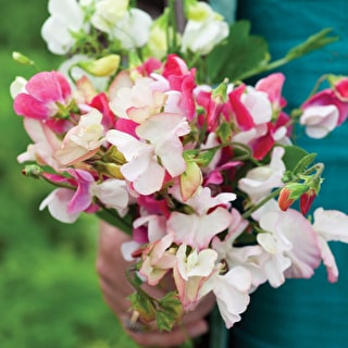 Sweet Pea 'Mrs Collier'