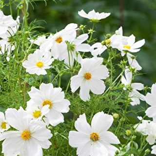 Pale Cosmos Container Collection