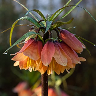 Fritillaria imperialis 'Early Fantasy'
