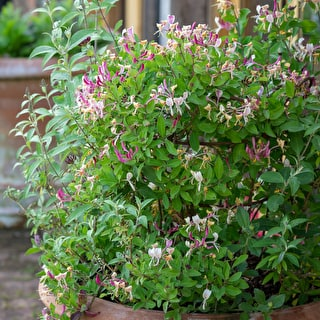 Scented Crimson Perennial Pot Collection