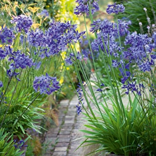 Agapanthus 'Navy Blue' (syn. 'Midnight Star')