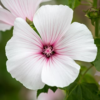 Lavatera trimestris 'New Dwarf Pink Blush'
