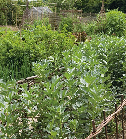 Broad Bean 'Masterpiece' Green Longpod