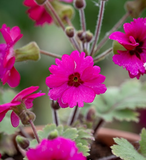 Primula 'Ooh La La Blood Orange'