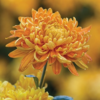 Chrysanthemum 'Allouise Orange'
