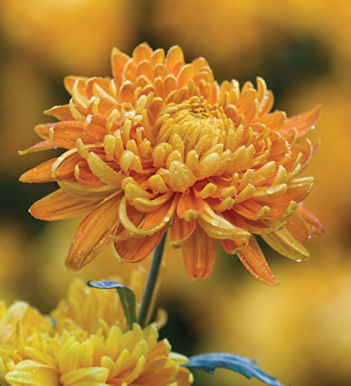 Chrysanthemum 'Orange Allouise'