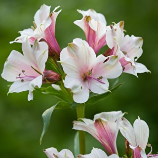Alstroemeria 'Grape Sorbet'