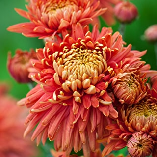 Chrysanthemum 'Pandion Bronze'