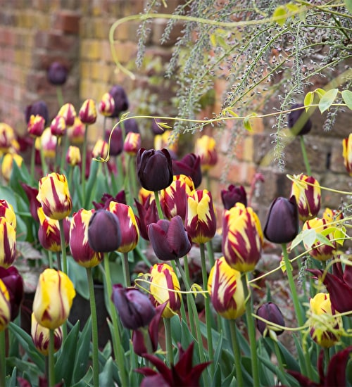 The Rembrandt Tulip Collection