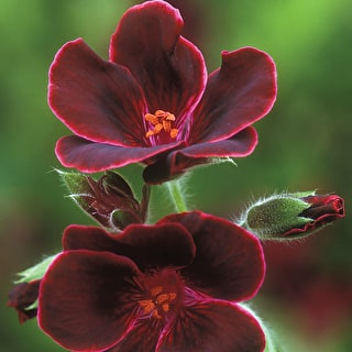 Venetian Pelargonium Collection
