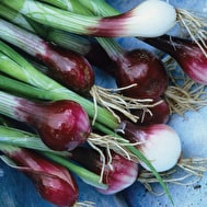 Spring Onion 'North Holland Blood Red'
