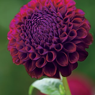 Cut Flower Dahlia Collection
