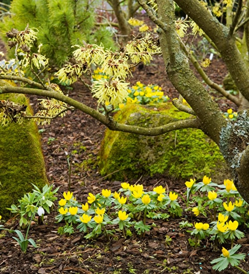 Eranthis hyemalis (Winter Aconite)
