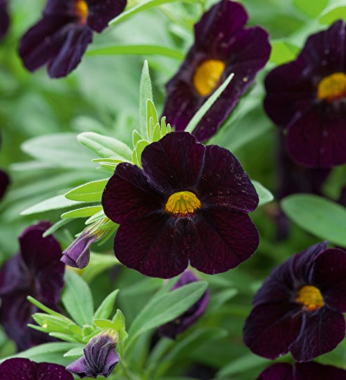 Calibrachoa 'Can Can Black Cherry'
