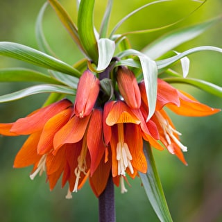 Fritillaria imperialis 'Orange Beauty'