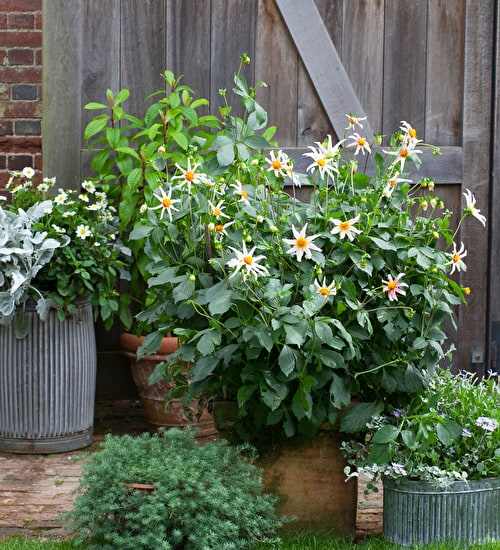 Dahlias for Containers Collection