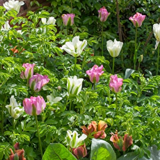 Super Perennial Tulip Collection