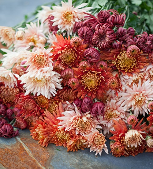Chrysanthemums for Christmas Collection