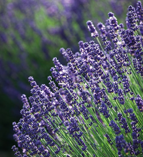 Lavender 'Munstead Purple'