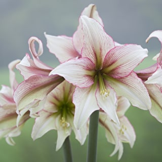 Amaryllis 'Green Magic'