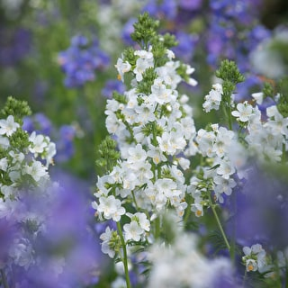 Polemonium 'Blue Pearl' and White Pearl Mix'
