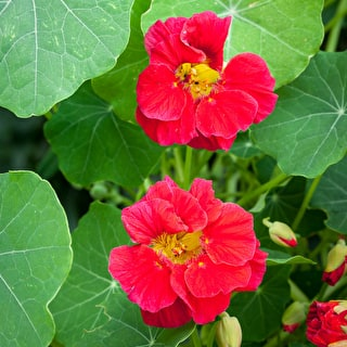 Nasturtium 'Jewel Cherry Rose'