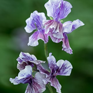Sweet Pea 'Earl Grey'