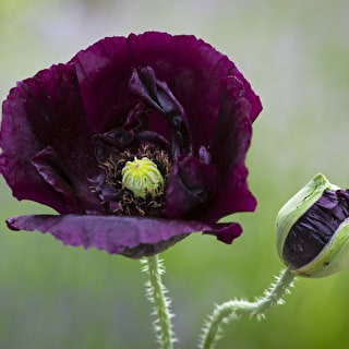 Papaver somniferum 'Black Single'