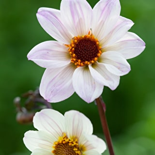 Ecclesiastic Whites Dahlia Collection