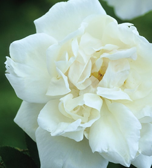 Rose 'Madame Alfred Carriere'