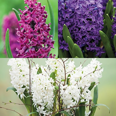 Hyacinth for Forcing Collection