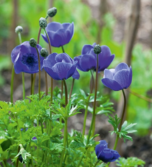 Anemone Coronaria Collection