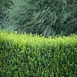 Buxus microphylla 'Faulkner'